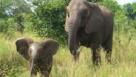 ما هو اسم ولد الفيل