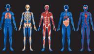 ما هي أعضاء جسم الإنسان
