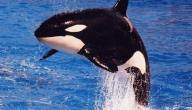 انواع الحيتان