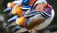 أجمل الطيور
