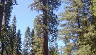 أين توجد أطول شجرة في العالم