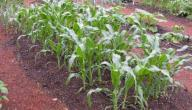 كيفية زراعة الخضروات