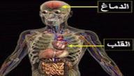 أين يقع القلب في جسم الإنسان
