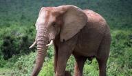 ماذا يغطي جسم الفيل