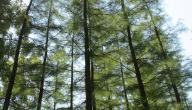 أين تقع أطول شجرة في العالم