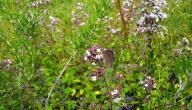 ما هو نبات البردقوش