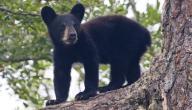 ما هو صغير الدب