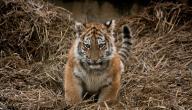 ماذا يسمى صغير النمر