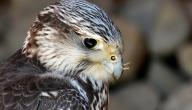ما هو طير الحوران