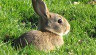 ماذا يسمى صغير الأرنب