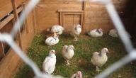 ماذا يسمى بيت الدجاج