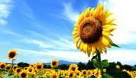 ما أضرار بذور دوار الشمس