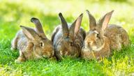 ما هو صغير الأرنب