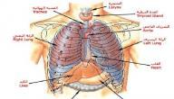 أين توجد المعدة في جسم الإنسان