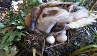 فوائد بيض البط