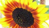 فوائد بزر عين الشمس