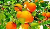 طريقة تخزين البرتقال
