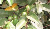 فوائد أوراق الجوافة