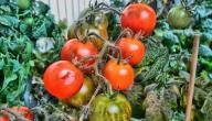 طريقة زراعة الطماطم