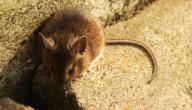 طريقة التخلص من الفئران