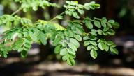 فوائد شجرة المورينجا