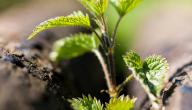 فوائد نبات القريص