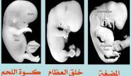 مراحل تكوين الإنسان