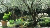 أهمية شجرة الزيتون