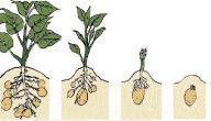 مراحل نمو البذرة