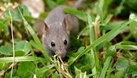 أفضل طريقة لقتل الفئران