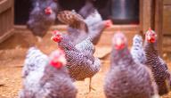 مراحل نمو الدجاج