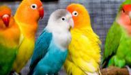 تكاثر طيور الحب