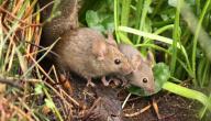 طرق مكافحة الفئران