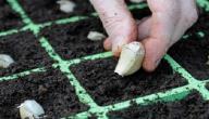 طريقة زراعة الثوم