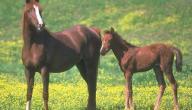 تكاثر الخيول