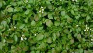 فوائد نبات الجرجير