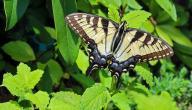 دورة حياة الفراشة
