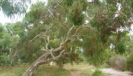 فوائد شجرة الكينا