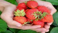 طريقة زراعة الفراولة في المنزل