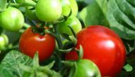طريقة زراعة الطماطم في المنزل