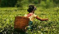فوائد الشاي ومضاره