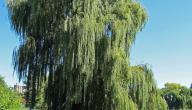 فوائد شجرة الصفصاف
