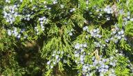 فوائد نبات العرعر