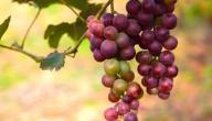 فوائد بذور العنب الأحمر