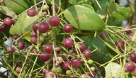 فوائد شجرة الأراك