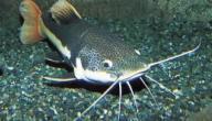 فوائد سمك السلور