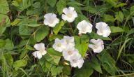 فوائد نبات اللبلاب