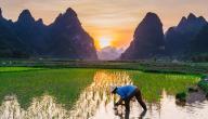 طريقة زراعة الأرز