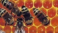 فوائد عسل غذاء ملكات النحل