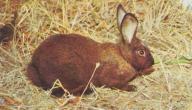 أين يعيش الأرنب